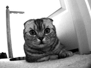 Image of Beloved Scottish Fold Cat